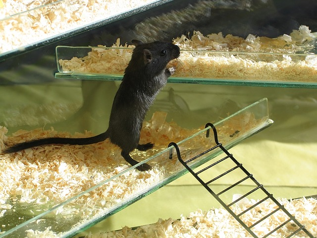 černá myška